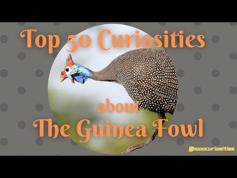 Top 50 Curiosities about the Guinea Fowl
