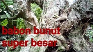 bonsai bunut super 20 tahun