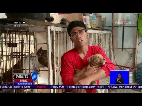 Mengenal Anjing Pitbul Lebih Dekat -NET 12