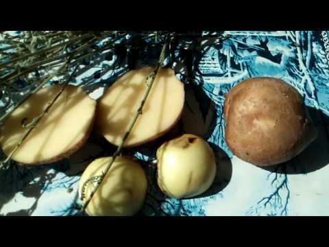 Как заговорить бородавки картошкой