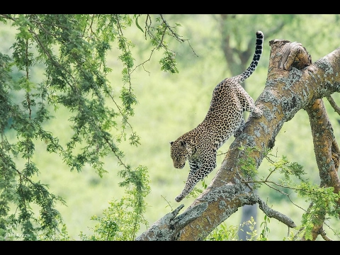 A Leopard's Story - National Geographic