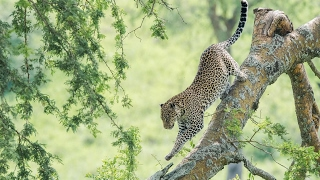 A Leopard's Story - National Geographic thumbnail