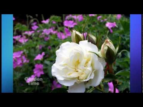 Rose Companion Plants Youtube
