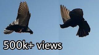 Roller pigeon part 7  Amazing stunts of Tumbler pigeons  Girebaaz kabutar  NEEL BIRDS