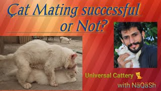 Cat mating tips & How to know cat Mating successful or not? In Hind /Urdu