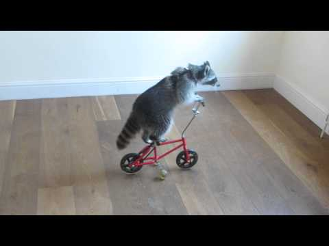 Melanie Raccoon riding bike-side angle