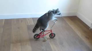 Melanie Raccoon riding bike-side angle