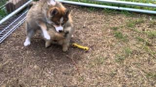 Pomsky Puppy Playing With Full Grown Teacup Pomeranian
