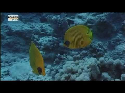 Die Korallenriffe im Roten Meer - Ras Mohammedиз YouTube · Длительность: 6 мин3 с
