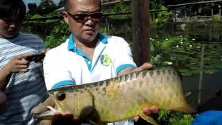 Singapore DragonFish Farm Gold Arowana Harvesting 2 (11 Feb, 2012)