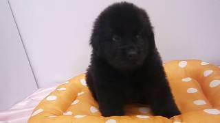 生年月日:2016/11/6 性別:メス ♀ カラー:ブラック.