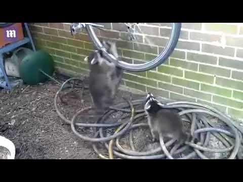 Waschbären Kämpfen um ein Fahrrad xD XD XD