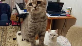 Британские рисованные котята, мальчишки