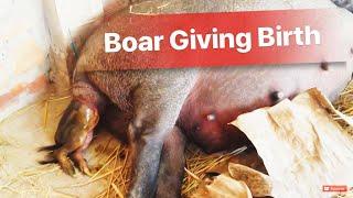 Heo Rừng Đẻ Con - Wildboar Giving Birth ( piglets)- 0977121452 || Heo Rừng Vĩnh Long