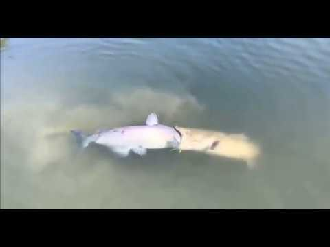 Catfish Eats Big Catfish
