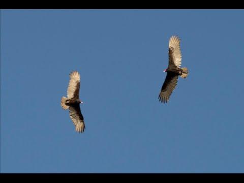 California Condor Tour - Big Sur, California