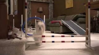 Maltese Dogs Agility Jump