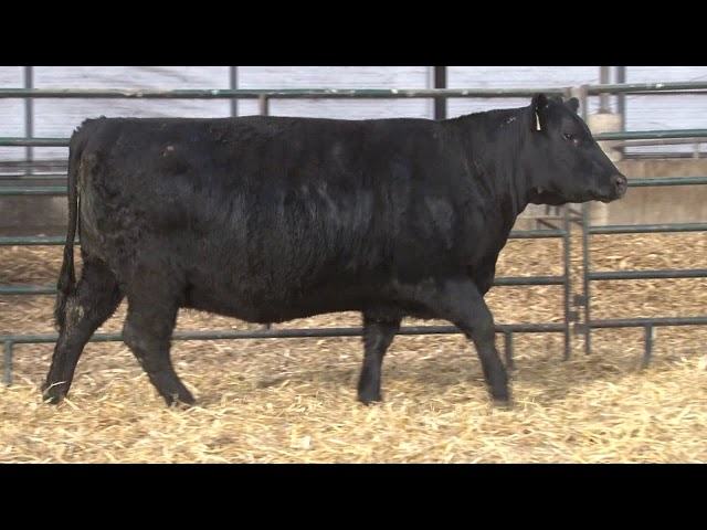 Schiefelbein Angus Farms Lot 401