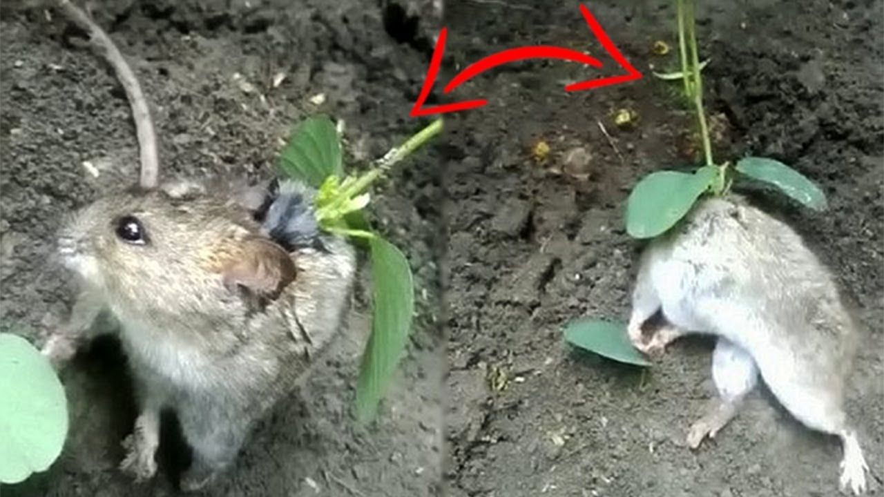dark truth about rat with a plant growing out of its back youtube