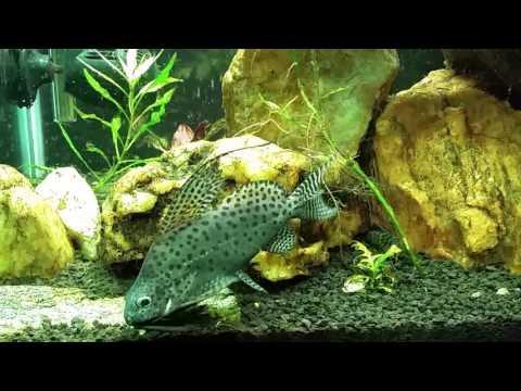 African Featherfin Squeaker Catfish (Syno. Eupterus)
