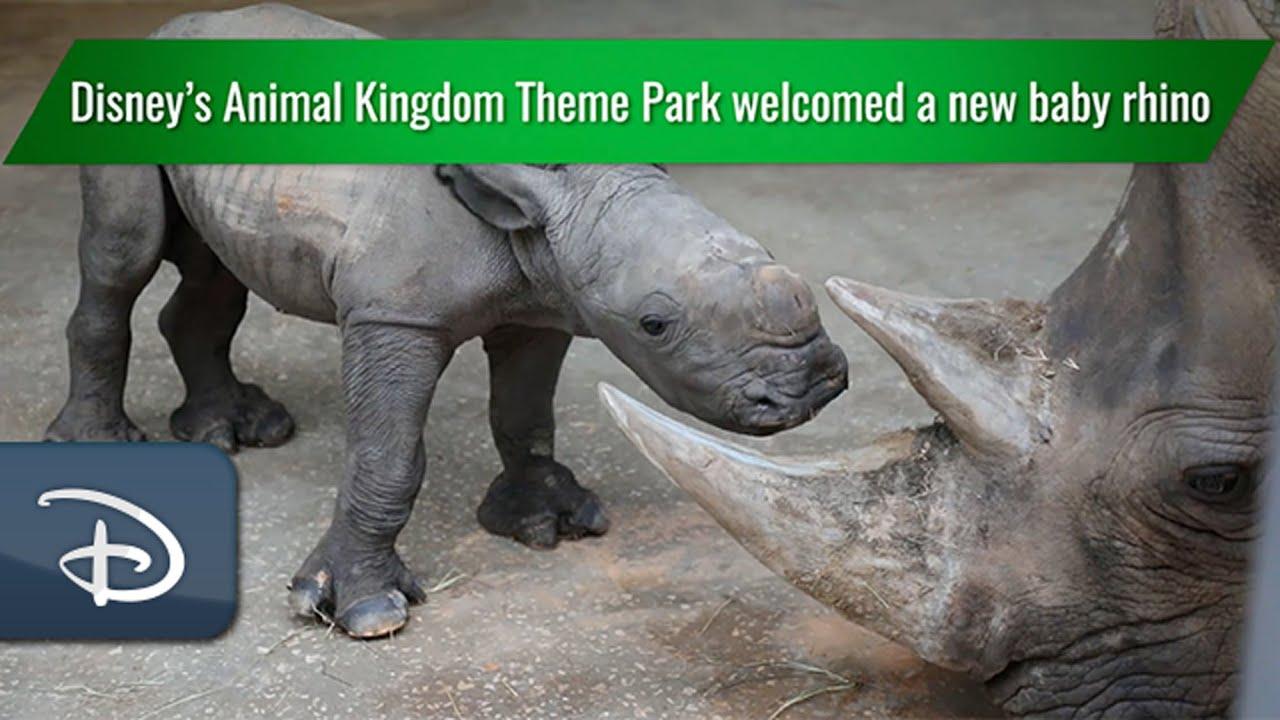 Download Disney's Animal Kingdom Theme Park Welcomes Baby White Rhino   Walt Disney World