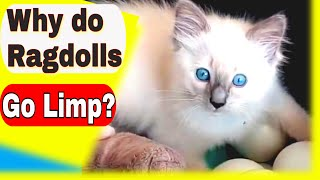 Why Do Ragdoll Cats Go Limp? Top Ragdoll Cat Questions Answered Here
