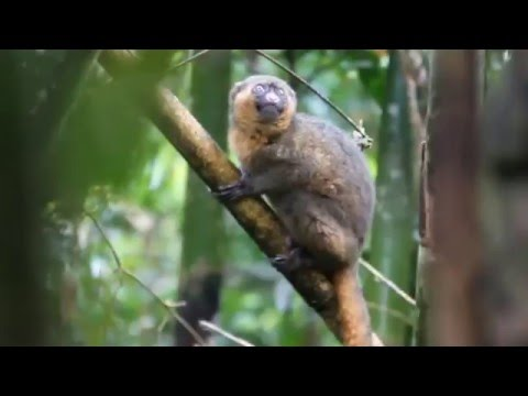 Greater bamboo lemur in Ranomafana National Park (Madagascar)
