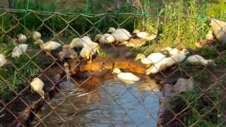 Мускусные утки и Муларды в вольере с водоемом 2017.05.30 Musky mulberry ducks enclosure with a pond