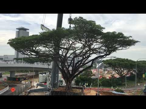 Rain Tree Transplanting Work done by TEHC International Pte Ltd ☘🌲🌱🌵🌿🎄 #SaveTheTree 🌴