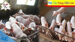 Giá lợn hơi hôm nay 14/10 | Nam tăng tiếp - Bắc giữ giá cao | Tin Nóng Mỗi Giờ