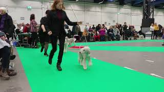 Hundmässa 2018 Bedlington Terrier Champion Dog