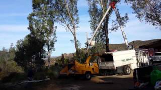 Jamul Tree Cutting Services 2 Removing Large Eucalyptus Trees