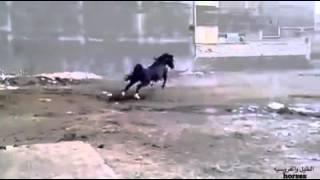 افضل خيل عربي 14