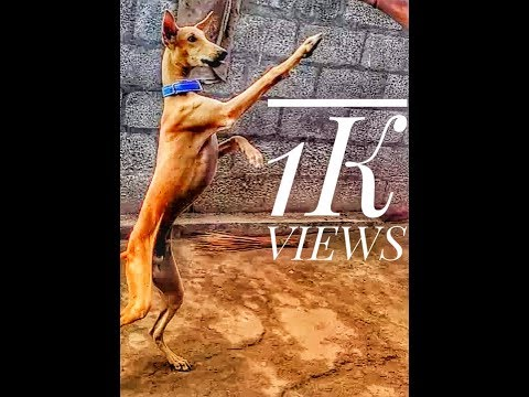 Chippiparai dog jumping-hd