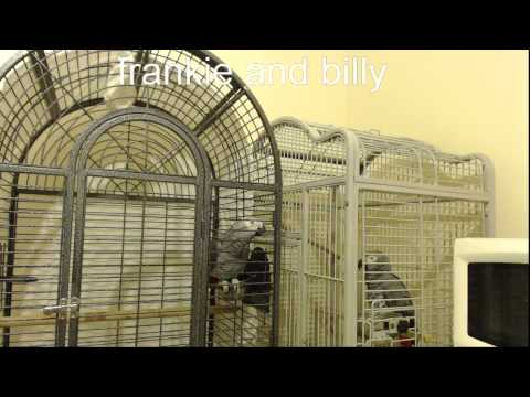 african grey parrots live stream - be sure to watch in HD!