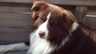 One tired dog ;) Thumbnail