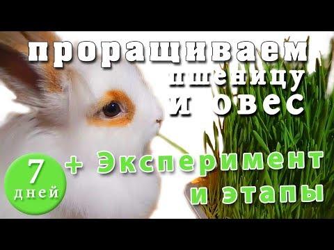 Эспарцет (трава) – полезные свойства эспарцета, семена