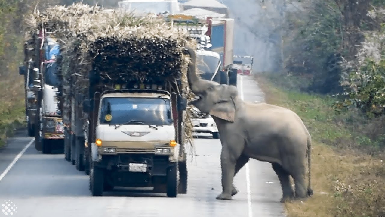 Elephant Blocks Trucks To Steal Bundles Of Sugar Cane From Them