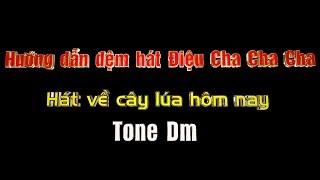 Hướng dẫn đệm hát điệu Cha cha cha-Hát về cây lúa hôm nay-Tone Dm