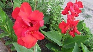 видео Цветы канны: их фото, выращивание, посадка и уход за растениями, хранение зимой