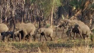 selection for tuskless elephants   hhmi biointeractive video