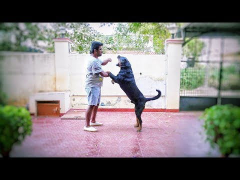 Rottweiler dog fight with human in India *funny*