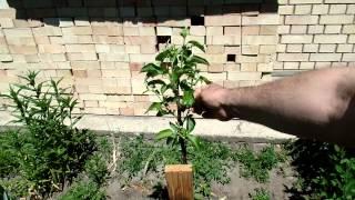 видео Формирование кроны яблони: схема и правила обрезки