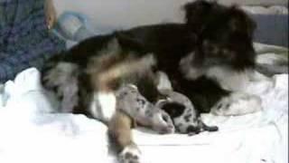 Whelping Puppies Birthing Dvd. Pregnant Dog Having Puppies. Puppy Birth Video.