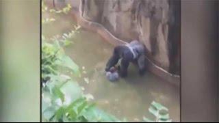 شاهد..  انتقادات لاذعة لحراس حديقة الحيوان بسبب قتل غوريلا