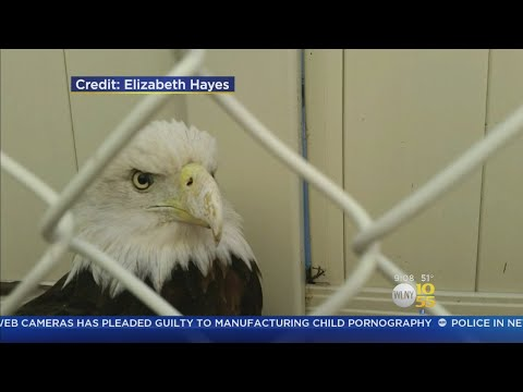 Bald Eagle Spotted On Staten Island
