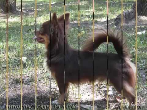 белый чихуахуа длинношерстный фото