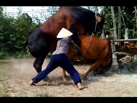 Amazing Dangerous Powerfull Mating Cow - Mating Cows ★Life of Cows ✔ #4