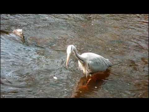 Water of Leith Edinburgh Heron