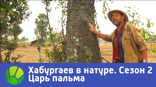 Царь пальма  Хабургаев в натуре  Сезон 2 | Живая Планета
